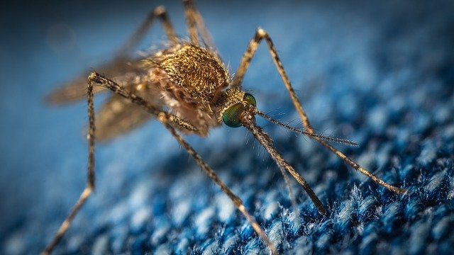 moustique du tissu